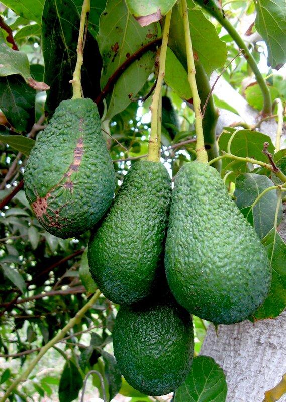 Авокадо или Персея американская,Аллигаторова груша