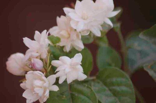 Jasminum sambac 'motia'