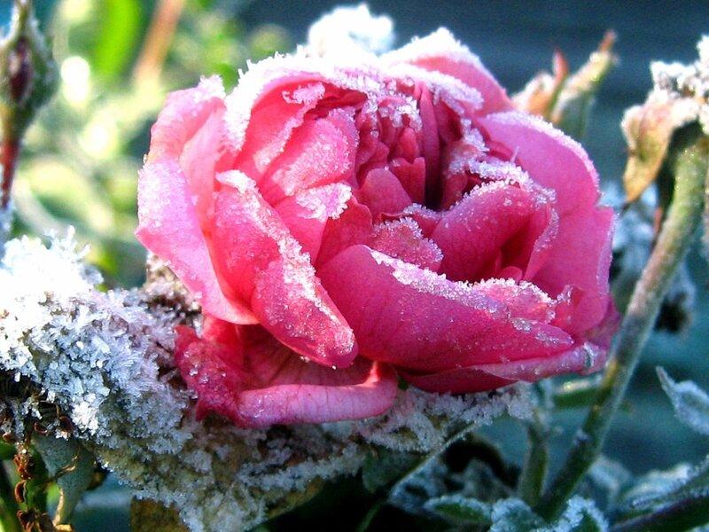 Дыханием согрею розу...