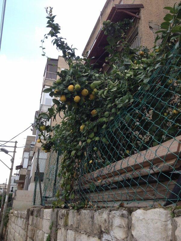 Любовь Лаврова, Путешествие в Израиль, лимоны