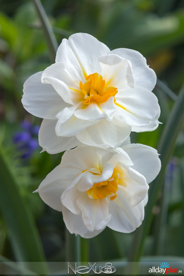 Я люблю все цветы, выпуск 164 | Тюльпан «Yokogama» и нарцисс «Sir Winston Churchill».
