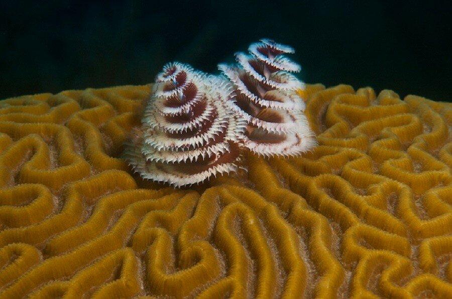Christmas Tree Worm (Spirobranchus giganteus) on Symmetrical Brain Coral (Diploria strigosa), Utila, Honduras, Central America