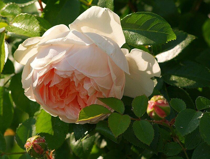 """Английская роза """"Вайлдив"""""""