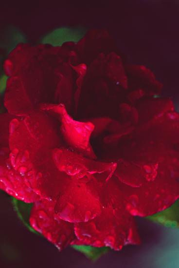 фото розы картинки
