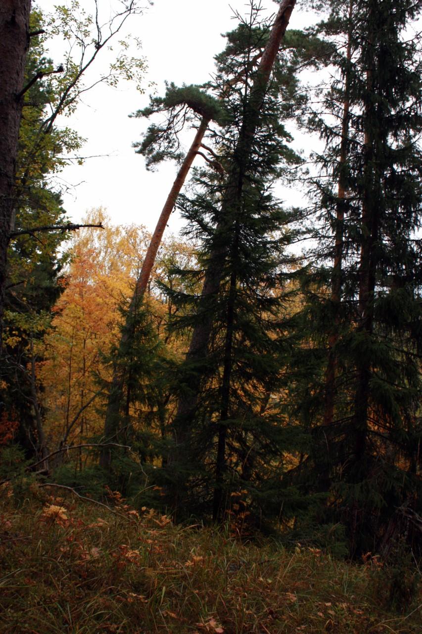Валаамский лес.
