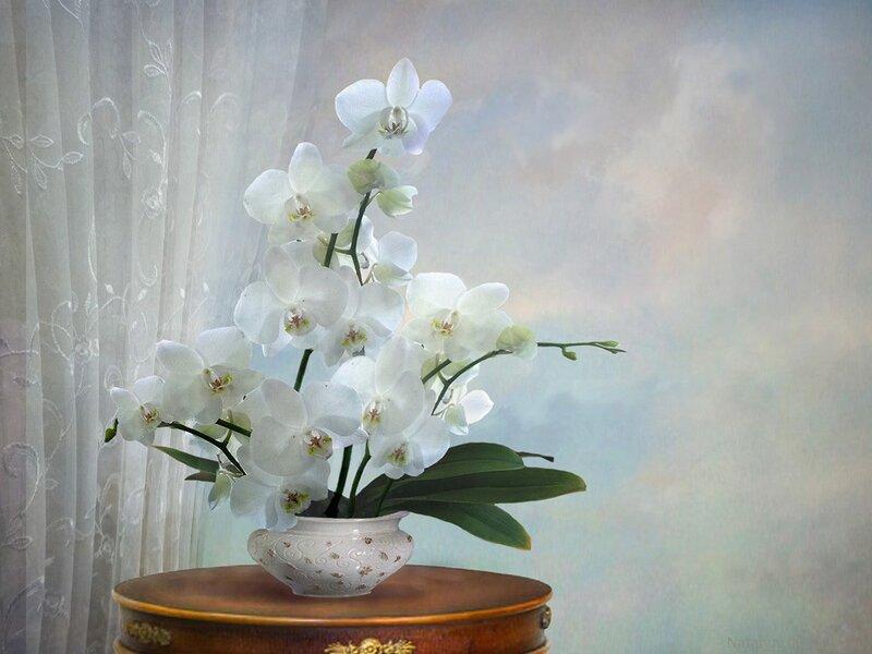 Орхидея Фаленопсис · «