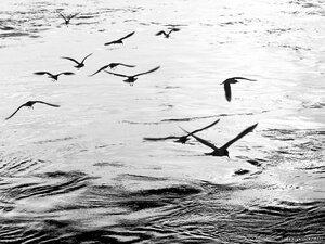 Птицы (монохром, птица, чайка)