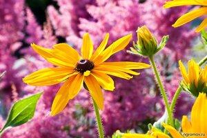 Рудбекия (рудбекия, цветок)