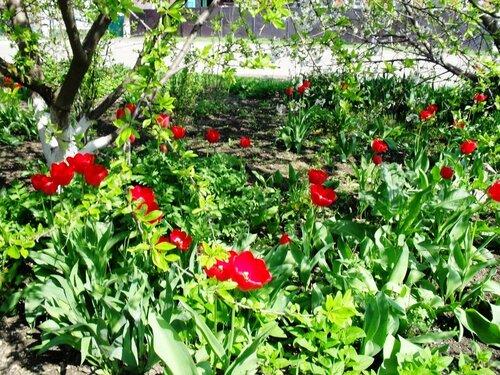 Апрельский тюльпановый рай в Ахтарях
