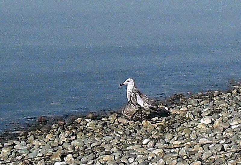 Чайка с перебитым крылом
