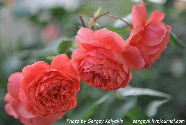 Rosa Summer Song (1).JPG