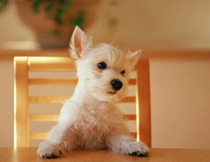обои Белый щенок ждет обеда фото.
