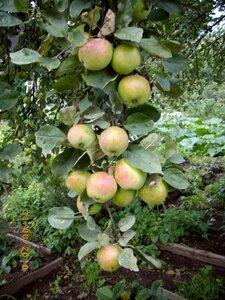 заготовка яблок