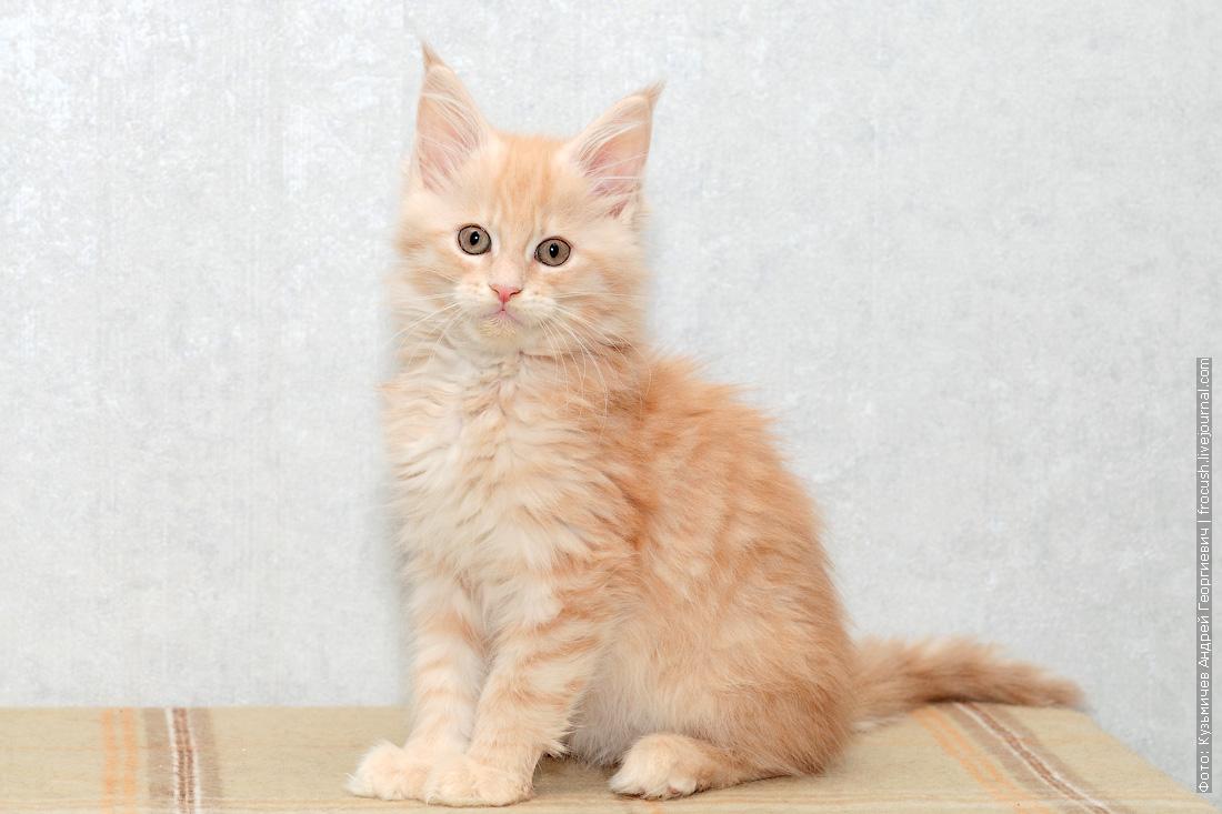 котенок мейн-кун цена