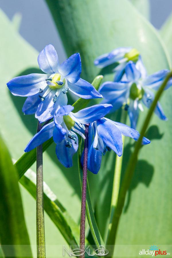 Я люблю все цветы, выпуск 149 | Проле́ска - «голубой подснежник» и гиaцинт - «цветок дождей».