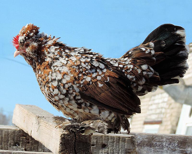 ассорти, курица бентамка фото как кора, обладает