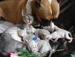 Корниш рекс-продажа котят редких окрасов