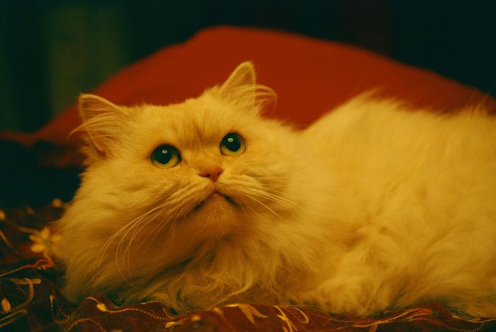 сибирско-персидская кошка