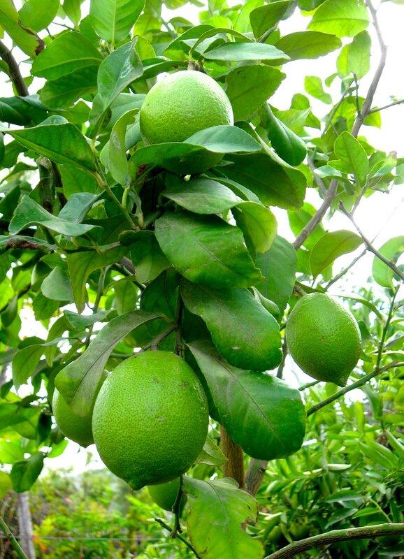 Лимонная ветка