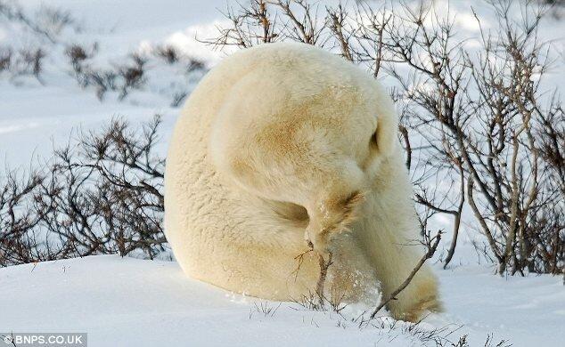 Медведик в Канаде