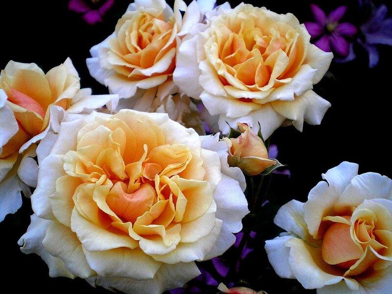 Розы плетистые прямостоячие 4