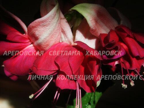 НОВИНКИ ФУКСИЙ. - Страница 5 0_155874_a7938c4d_L