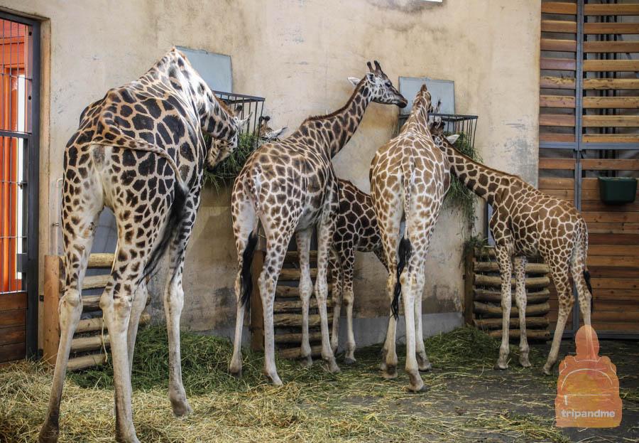Жирафы в зоопарке