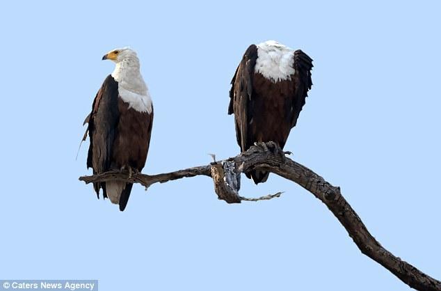 Орел приземлился, а голова — нет.