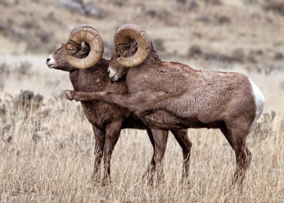 26. Смешливая гиена. (Фото Yaron Schmid   Comedy Wildlife Photography Awards 2016):