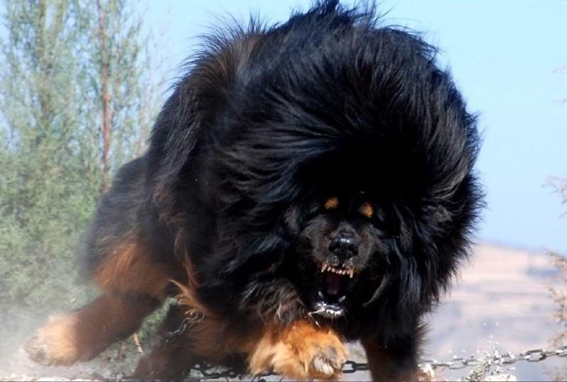 21. Одна из самых необычных пород собак — Тибетский мастиф.