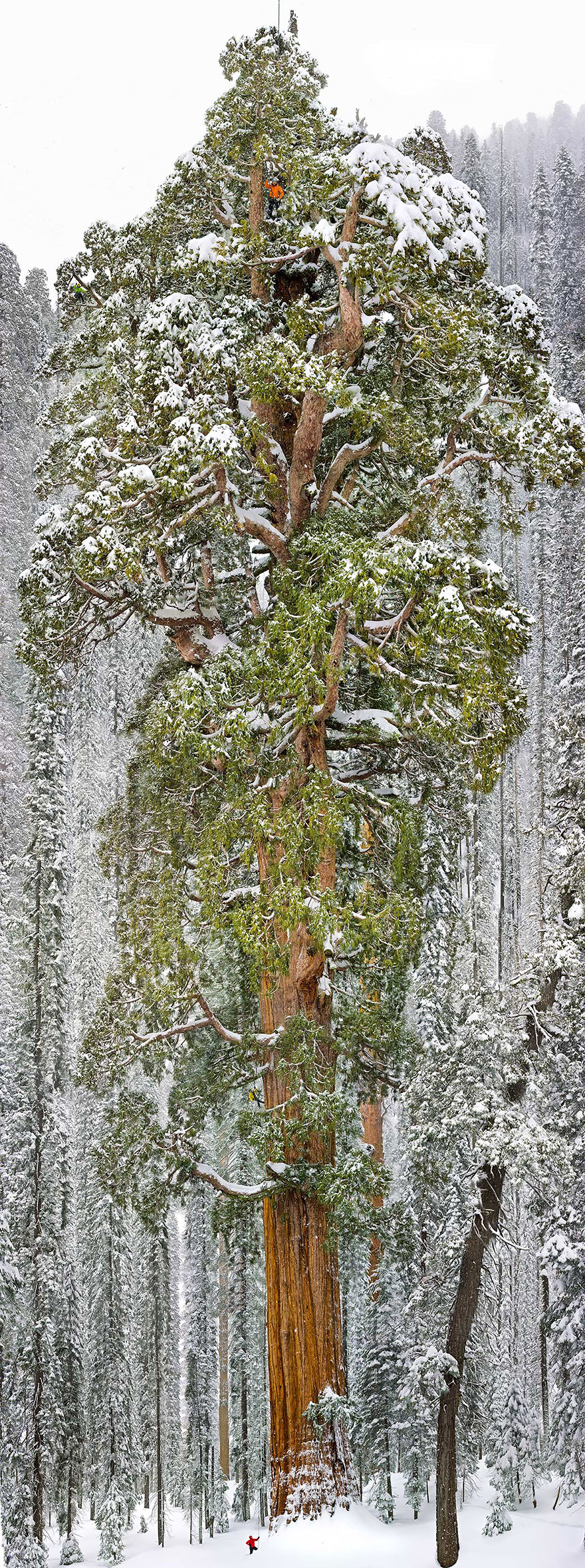 10. «Президент» — третья по величине секвойя в мире. Калифорния, США