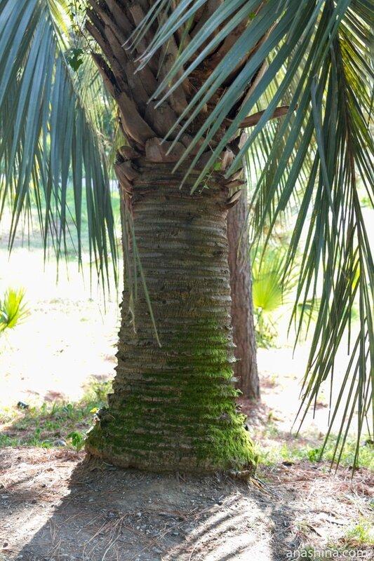 Ствол пальмы