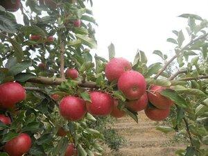 Молдова выделит 16 млн леев пострадавшим производителям яблок