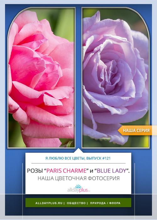 Я люблю все цветы, выпуск 121 | Роза - «Королева цветов» | «Paris Charme» и «Blue Lady».