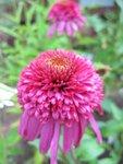 Echinacea Secret Affair.JPG