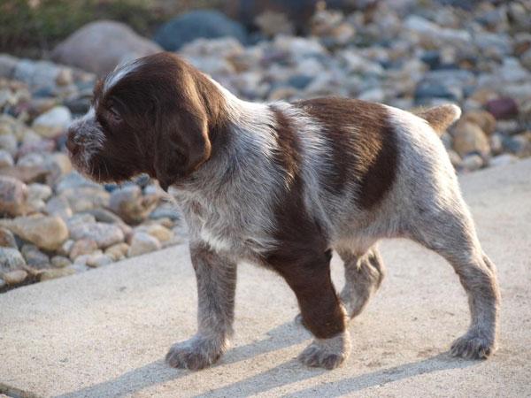 drathaar-wirehaired-puppy.jpg