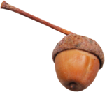 wendyp_autumnflavors_acorn1.png