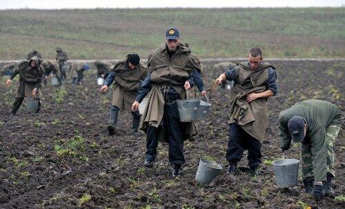 Курсанты Академии МВД собирают бульбу под Радошковичами