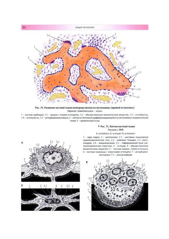 остеогенез