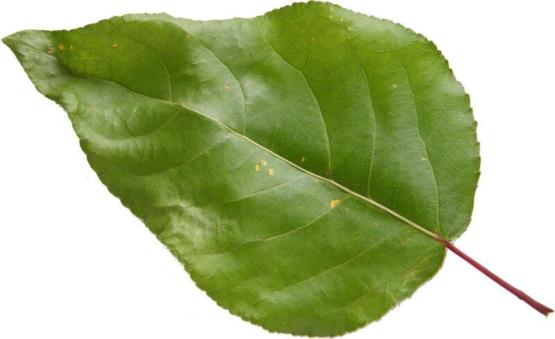 листьев тополя