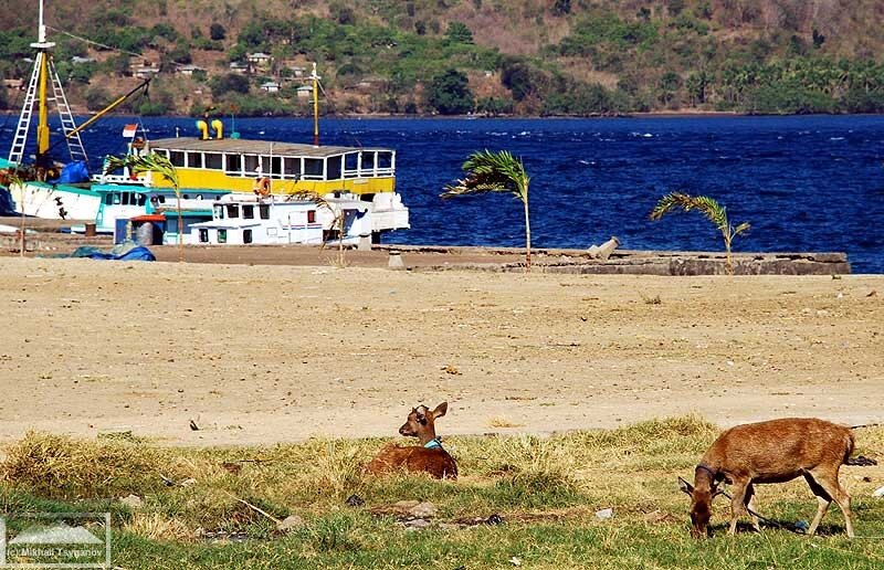 Тиморский олень