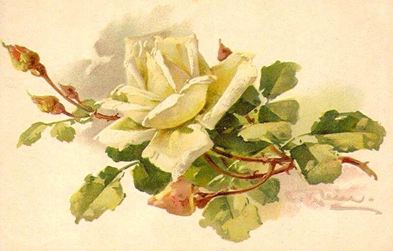 К. Кляйн. 89.   Белая роза.