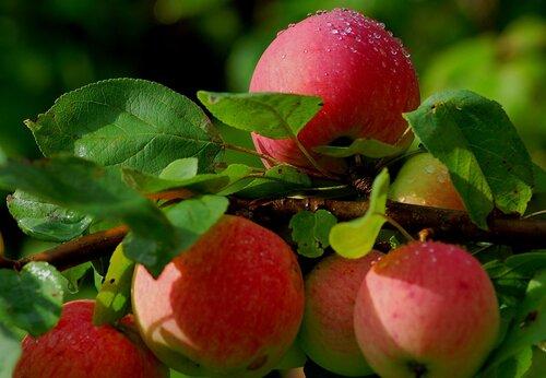 Как хранить урожай яблок