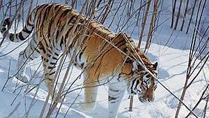 Амурский тигр: мониторинг будет продолжен в феврале