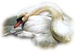 misted_54_MuteSwan-foxleap.png