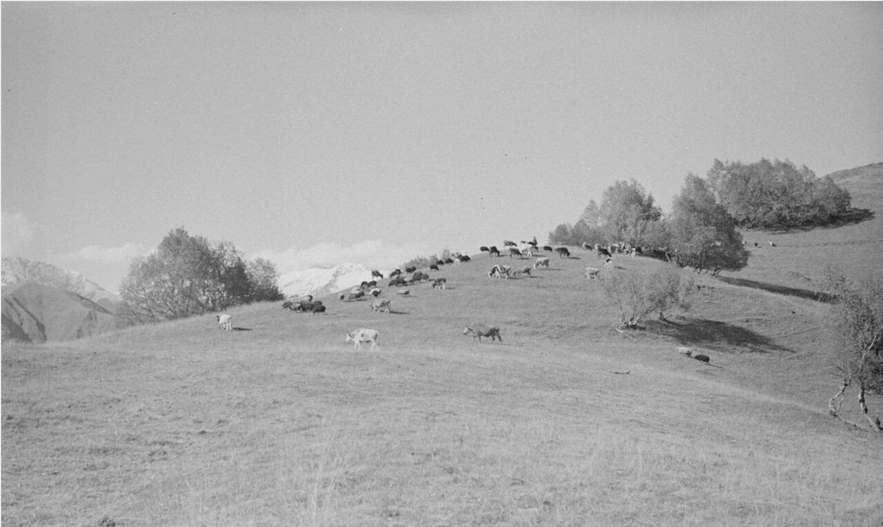 Скот, пасущийся на склоне холма в Грузии