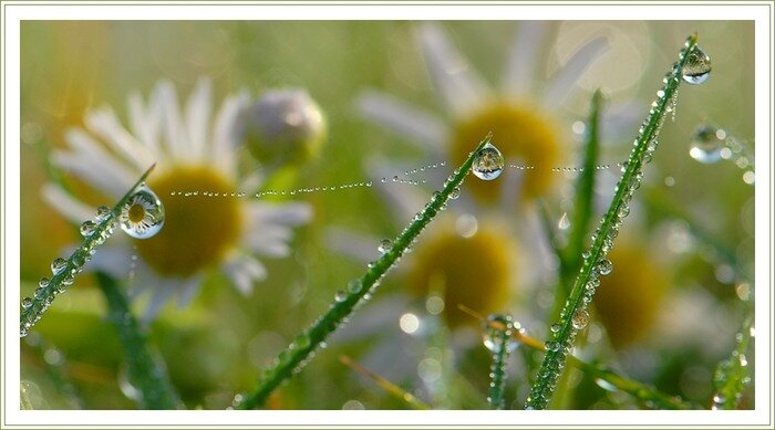 Осень... Капли росы на ромашках...