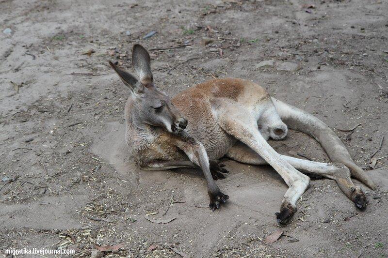 4e479440368c Фауна Австралии: 7 фотографий - кенгуру - путешествия и прочее