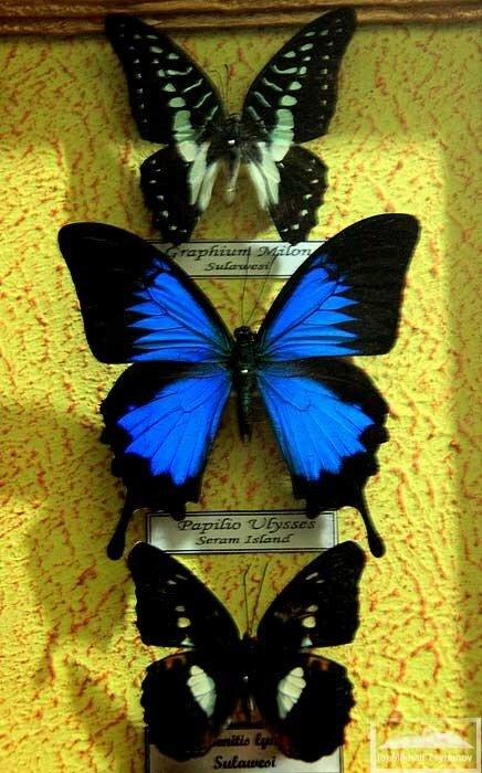 Бабочки Бантимурунга
