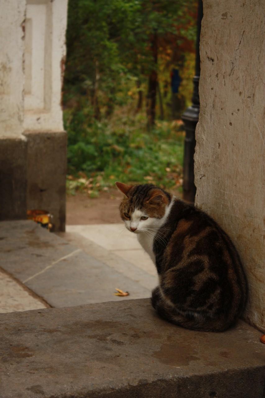 Валаамский кот.